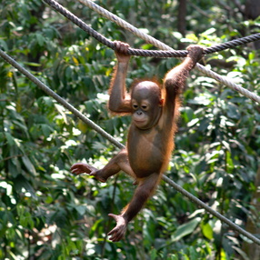 Shangri-la's Orangutan Care Project