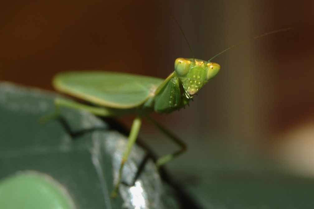 0351_PrayingMantis.jpg
