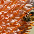 Bee on a banksia